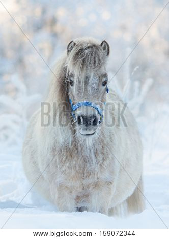 American miniature horse - palomino mare in blue halter