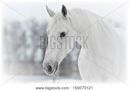 white horse portrait close up in winter