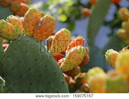 Many Indian Fig Opuntia Or Prickly Pear  In The Cactus