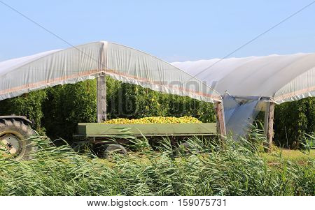 Tipper Trailer Full Of Freshly Picked Tomatoes In Greenhouses