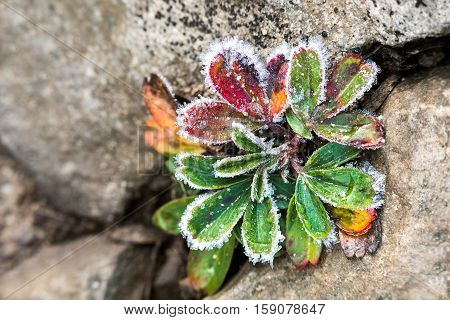 Macro closeup of frost ice crystals on blueberry leaves growing on rock