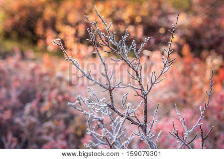 Bare tree covered in frost among blueberry bushes during autumn in Dolly Sods, West Virginia