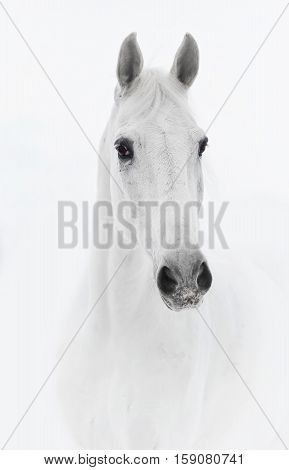 White horse in high key close up