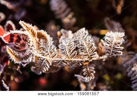 Frost on yellow fern with red blueberry leaves in morning sunlight