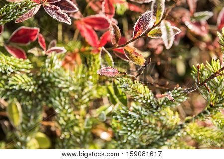 Frost on yellow coniferous pine tree in morning sunlight with red blueberry bushes