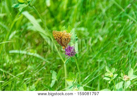 Aphrodite Fritillary Butterfly on purple clover flower in grass