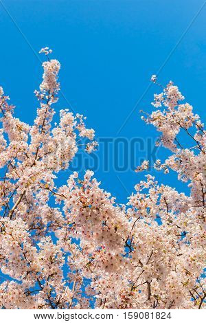 Beautiful cherry blossoms above with clear blue sky in background.