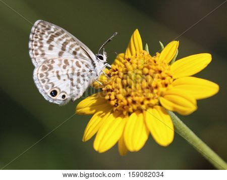 A Cassius Blue Butterfly (Leptotes cassius) feeding on a yellow flower