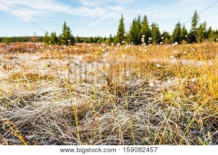 Icy frost on dry tall grass meadow illuminated by morning sunlight at Dolly Sods, West Virginia