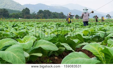 Chaingrai -november 29 : Unidentified Workers Are Shoveling Soil In Tobacco Field On November 29,201