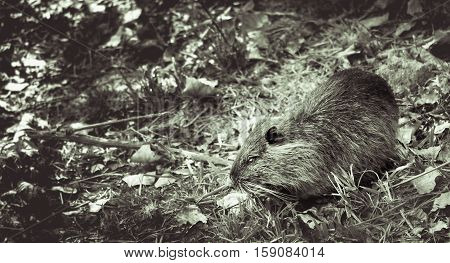 Coypu in tree leaves falling to the ground in autumn. black and white image