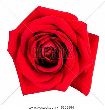 Large fresh red rose on a white background