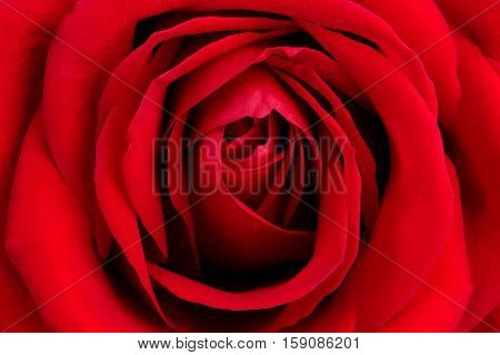 Background from big photographed fresh red rose
