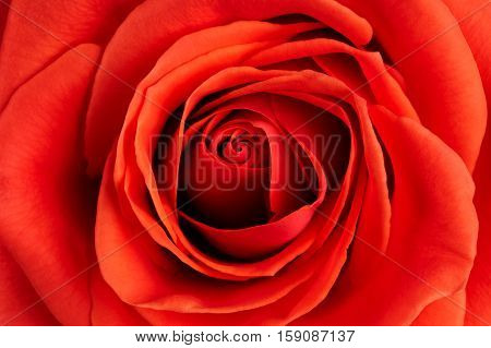 Background from big photographed fresh scarlet rose