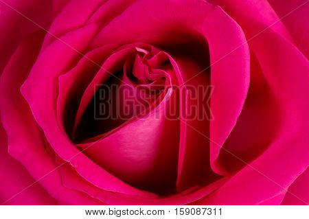 Background from big photographed fresh pink rose