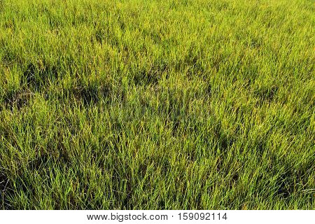 Marsh land grass background on the swamp Florida, USA