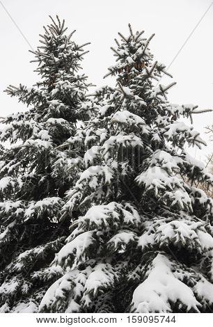fir tree under the snow in winter