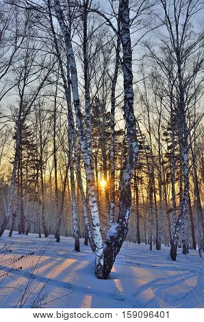 Winter landscape in the white birches forest at sunrise or sunset. Long blue shadows on the pink snow. Forest is permeated by sunlight.
