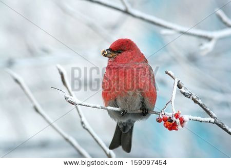a beautiful red bird sitting on the branches covered with frost and frozen eats Rowan berries