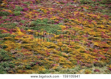 A close-up view of a field of purple and yellow heather