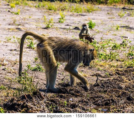 Chobe National Park in Botswana. The baboons at a watering place on large river. The concept of extreme and exotic tourism in Okavango Delta