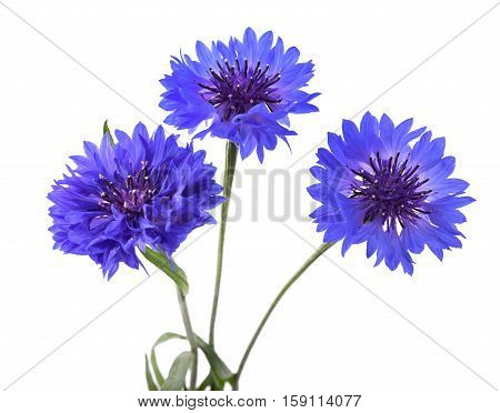 Blue Cornflowers Isolated