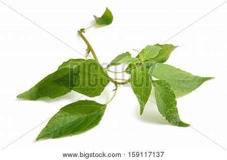 Pellitory (parietaria, Officinalis)