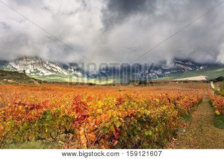vineyards in autumn in La Rioja in Spain