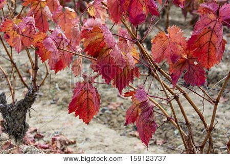 close up of vineyards in autumn in La Rioja in Spain