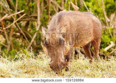 Warthog Enjoying His Grass