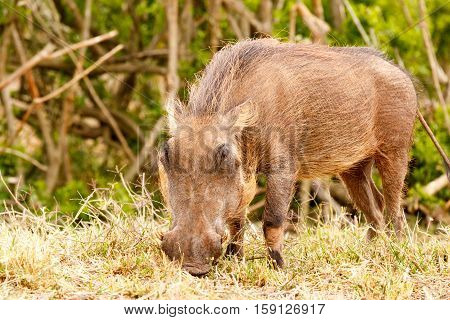 Warthog Eating Intensely On His Grass