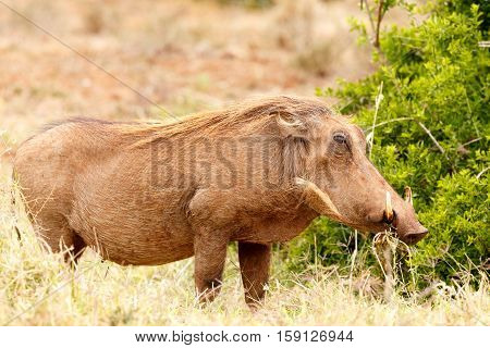 Warthog Standing And Chilling