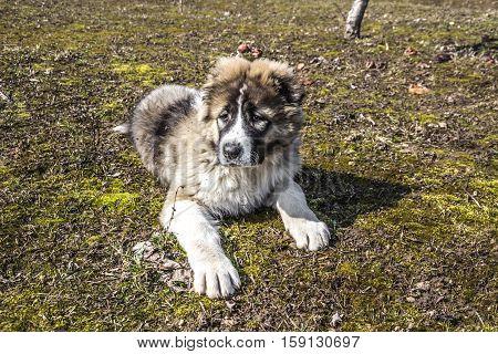 Beautiful Fluffy Caucasian shepherd dog is lying on the ground