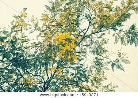 Mimosa Branch With Yellow Flowers