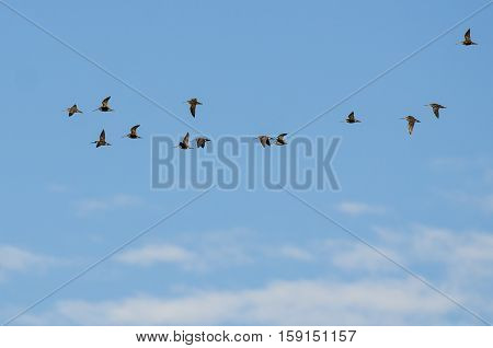 Large Flock of Wilson's Snipe Flying in a Blue Sky