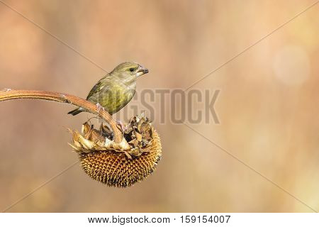 male greenfinch eating on a sunflower outdoor