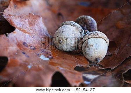 Macro of three acorns nestled on the ground in the fallen leaves of an oak tree. Extreme shallow depth of field.