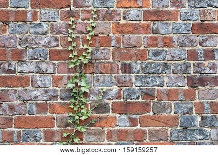 Close Up Of An Old Brick Wall With Creeping Ivy