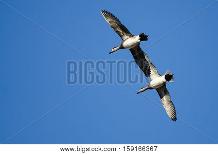 Pair of American Wigeon Flying in a Blue Sky