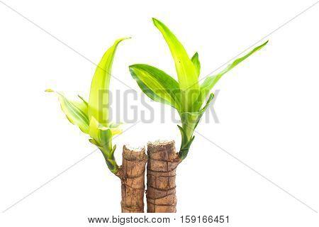 treetop of dracaena fragrans on white background