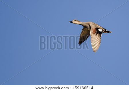 Lone Gadwall Flying in a Clear Blue Sky
