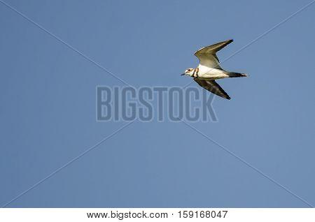 Lone Killdeer Flying in a Blue Sky
