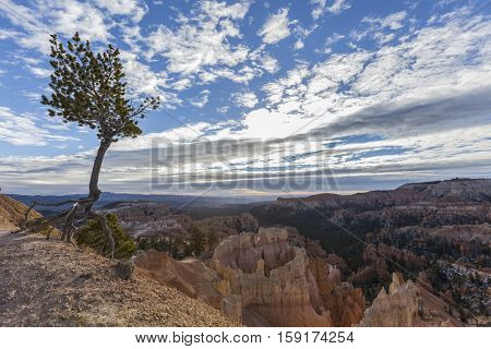 Limber pine tree with exposed roots clinging to life on the edge at Bryce Canyon National Park in Southern Utah.
