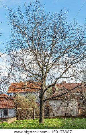 Walnut tree at the countryside surrounded by small houses
