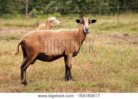 Barbados Blackbelly ewe in pasture