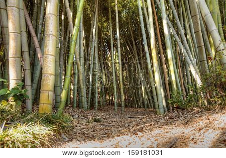 Bamboo path with thick Chinese bamboo growing tall and reaching skyward