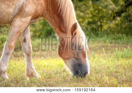 Blond Belgian draft horse grazing; with a slight sunlight filter for a dreamy effect