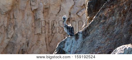 Lone Pelican on Los Arcos cliffs on Lands End at Cabo San Lucas Baja Mexico BCS
