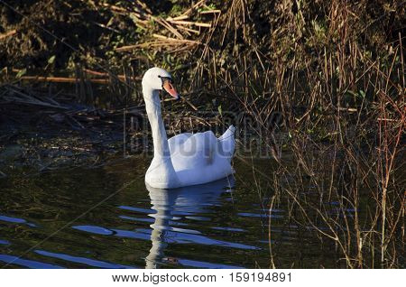Mute Swan ( Cygnus columbianus ) on the Great River Ouse in Bedfordshire England.