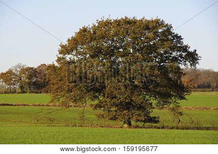 Oak tree with autumn foliage in a field in Bedfordshire England UK.